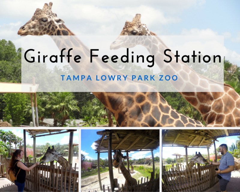 Giraffe Feeding Station at Tampa's Lowry Park Zoo