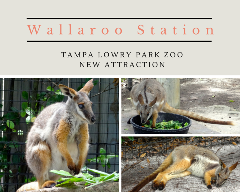 New Wallaroo Station at Tampa's Lowry Park Zoo