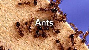 Pest-ID-Ants