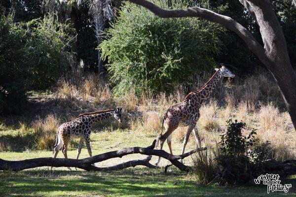 Baby Giraffe Animal Kingdom