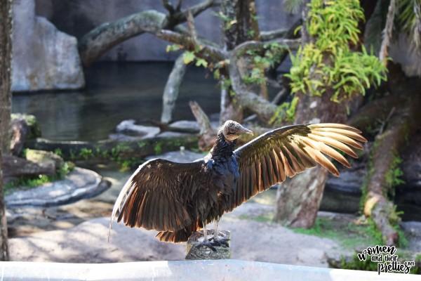 Buzzard at Animal Kingdom