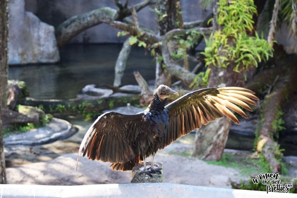 Buzzard at Animal Kingdom