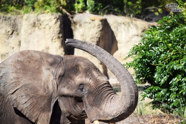 Elephant Trunk Up Animal Kingdom