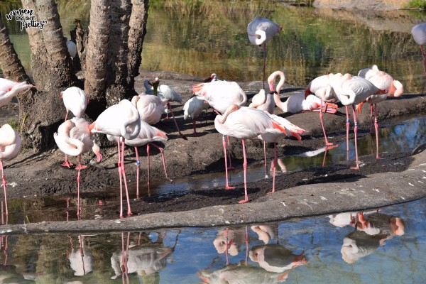 Flamingos at Animal Kingdom