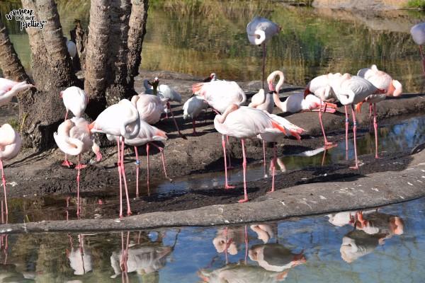 Flamingos at Animal Kingdom