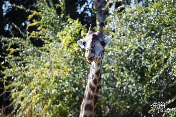 Giraffe Close Up at Animal Kingdom