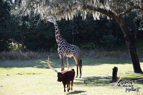Giraffe at Animal Kingdom