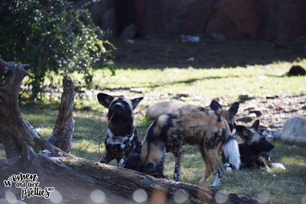 Hyenas at Animal Kingdom