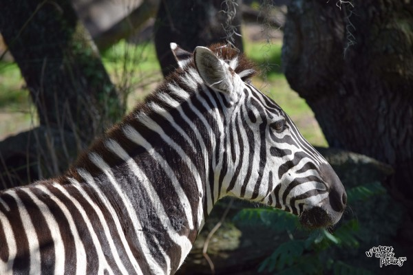 Zebra at Animal Kingdom
